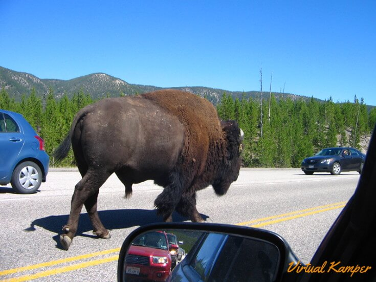 Buffalo causing a traffic jam on a National Parks Road Trip.