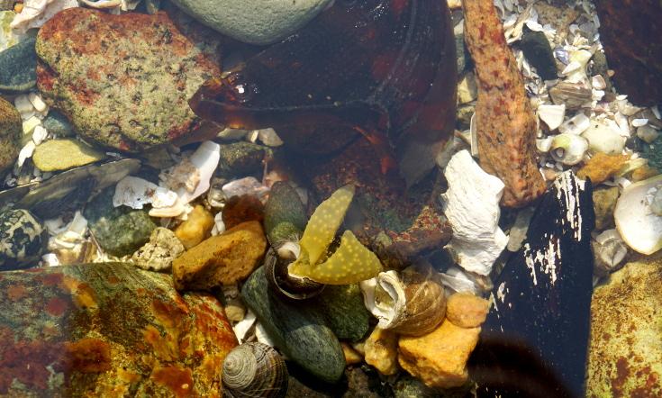 Snail wrestling seaweed in tidepool in Acadia National Park.