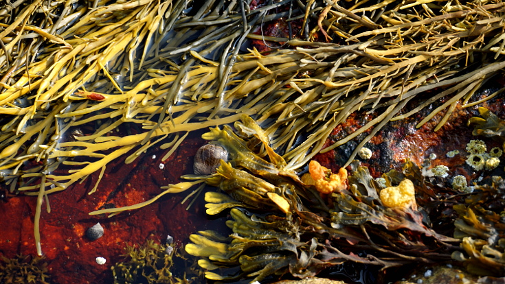 Seaweed and snails found on rocks in Acadia National Park.