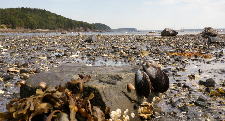 Clams and snails found on tidepool hike in Acadia National Park.